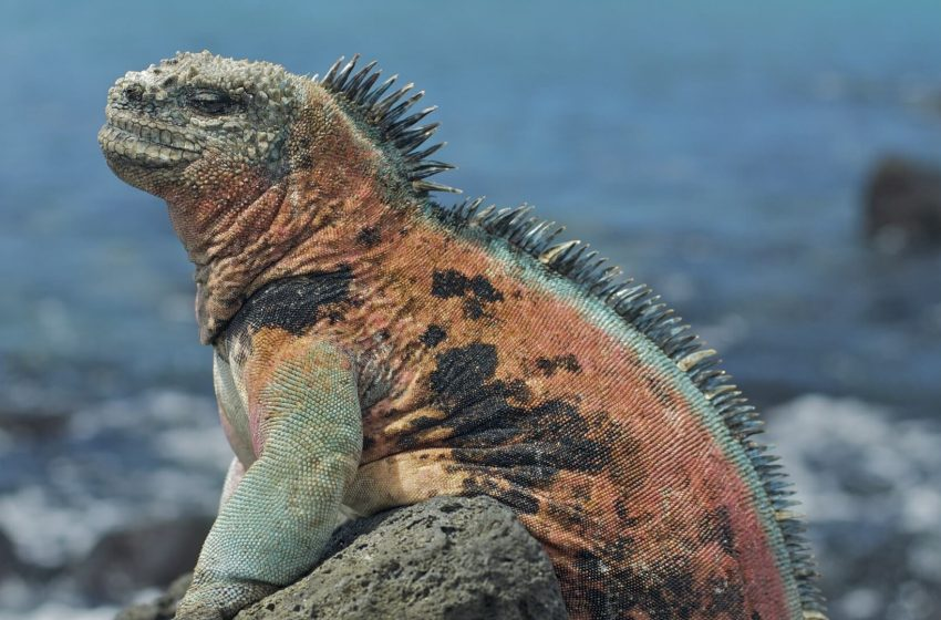 Marine Iguana Magazine