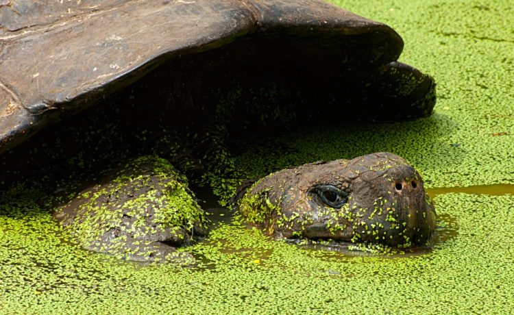 Tortoises of Española: A conservation success story